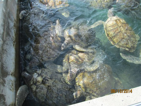 Cayman Turtle Centre: Island Wildlife Encounter: Turtles didn't have the room