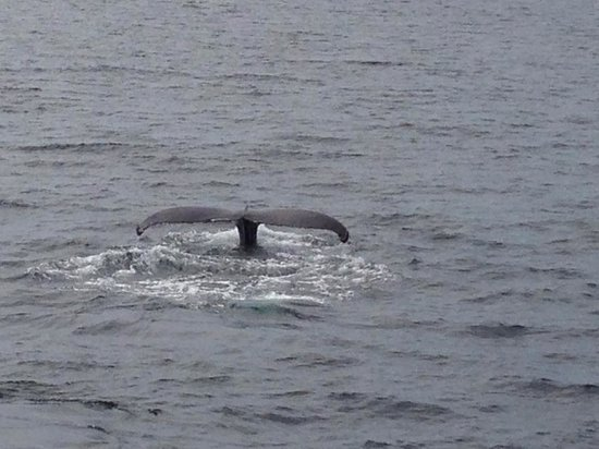 Hyannis Whale Watcher Cruises : The tail of a diving humpback, taken from this whale watch