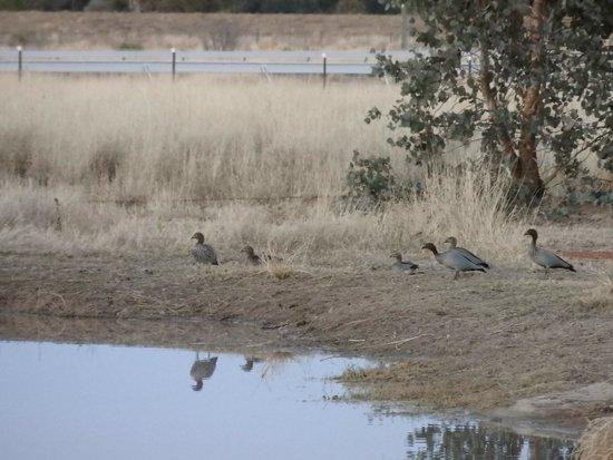 Cunnamulla, Austrália: Wood Ducks