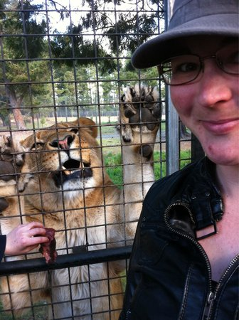 Orana Wildlife Park: In the caged truck in the lions for feeding. Definately worth the $35