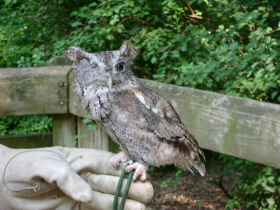Binder Park Zoo: A rehabilitated owl that cannot be released because of a missing eye