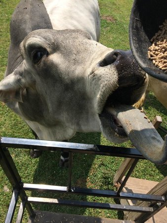 Dutch Creek Farm Animal Park: Bramha Bull