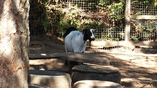 Benvenuto Bed & Breakfast: These goats can climb the shed!