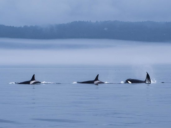 Prince of Whales Whale Watching: Killer Whales!
