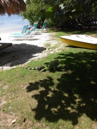 Rock Reef Resort: Our friend Iggy