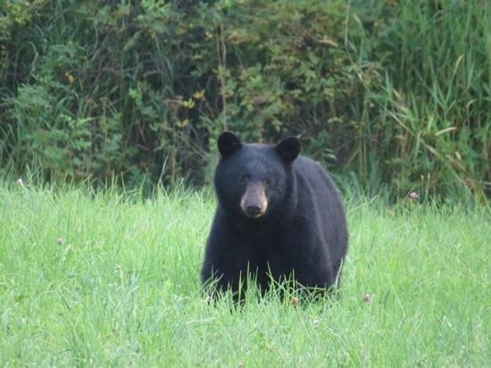 Bella Coola Valley Inn : bear nearby to Bella Coola