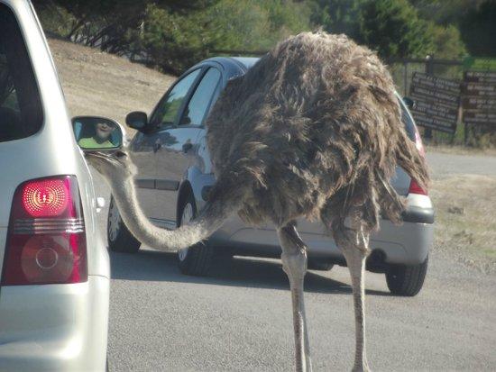 Réserve Africaine de Sigean : Parc en voiture autruche