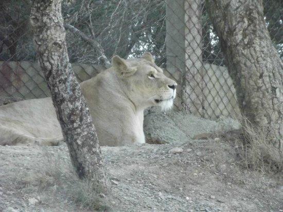 Réserve Africaine de Sigean : Parc en voiture Lion