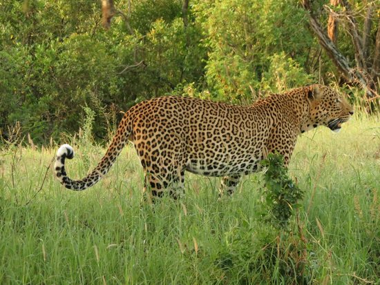 andBeyond Klein's Camp: One of the Leopards