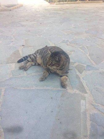 Kefalos Beach Tourist Village: the biggest cat I've ever seen