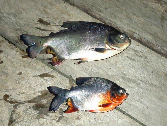 Sani Lodge : Piranha
