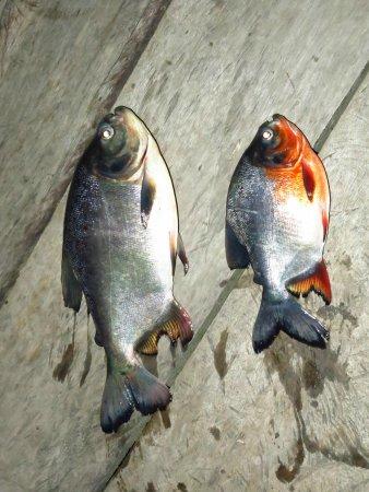 Sani Lodge: Piranha