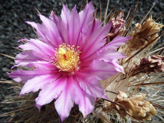 Jardin de Cactus: Fiori di Cactus