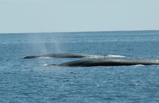 Cork Whale Watch: pair of fin whales