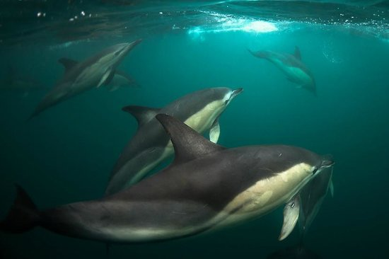Cork Whale Watch: common dolphins