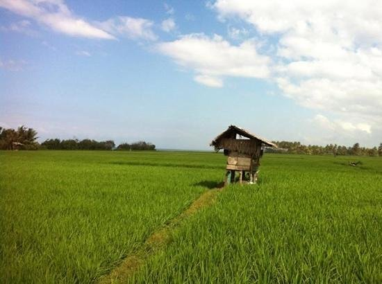 Medewi Beach Cottages: walk through the rice field
