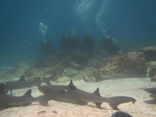 Academy Bay Dive Center: Black tip sharks