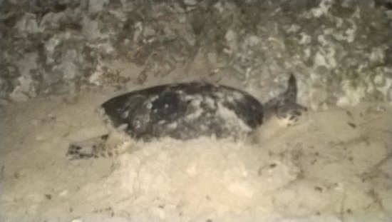 The Club, Barbados Resort and Spa: A Nesting Turtle
