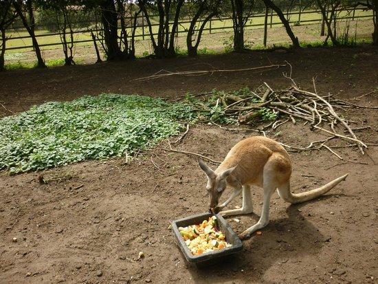Linton Zoo: Kangeroo lunch...