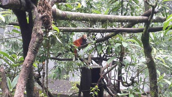 Padmaja Naidu Himalayan Zoological Park : Red Panda