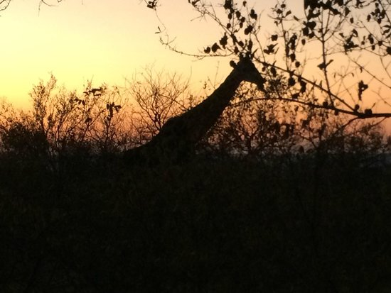 Naledi Bushcamp and Enkoveni Camp: Giraffe at dusk