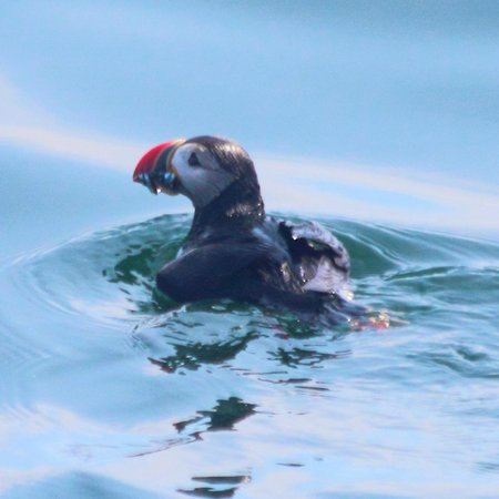 Cap'n Fish's Puffin Nature Cruises: Atlantic Puffin