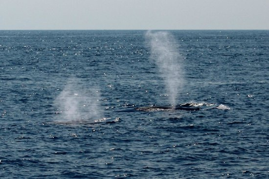 Cap'n Fish's Whale Watch: Two whales spouting at same time.