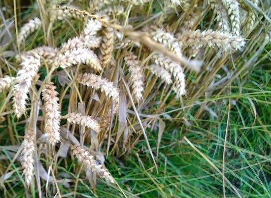 Anderson Tours : Barley growing near West Kennet Long Barrow