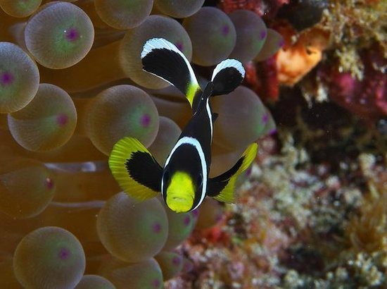 Pro Dive Lord Howe Island: Say hello to Nemo!