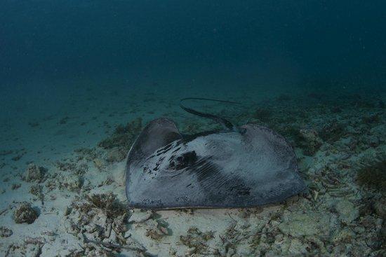 Pro Dive Lord Howe Island: Bullrays are elegant gliders