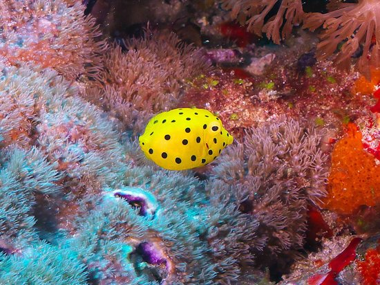 Pro Dive Lord Howe Island: Juvenile Boxfish are awesome!