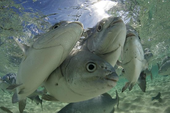 Pro Dive Lord Howe Island: Swim with Silver Drummer