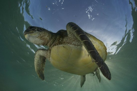 Pro Dive Lord Howe Island: Green Turtle just chilling out