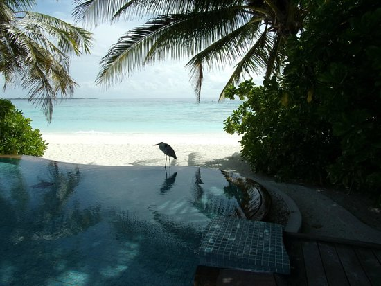 Veligandu Island Resort & Spa: The resident heron