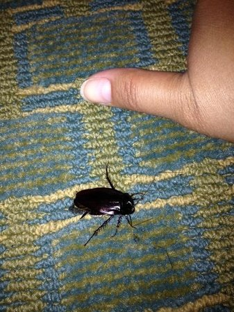Quality Inn Carolina Oceanfront: Roach we found in our room
