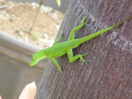 Rainforest Inn: One of the many little lizards on the property