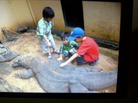 Beautiful Indonesia in Miniature Park: Komodo Cage, it has been with human since was born. so it is safe