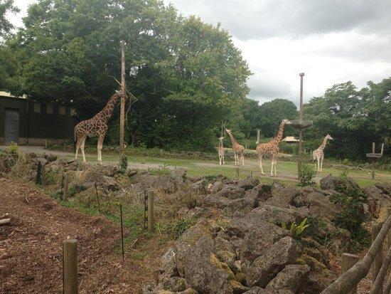 Paignton Zoo Environmental Park: Giraffe's