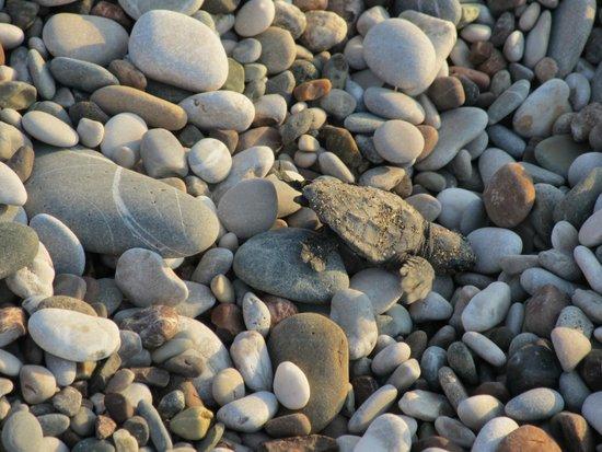 Canada Hotel Cirali Olympos: Hard way of the turtle...
