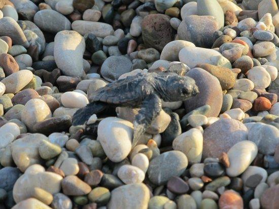Canada Hotel Cirali Olympos: Newborn cutie turtle...
