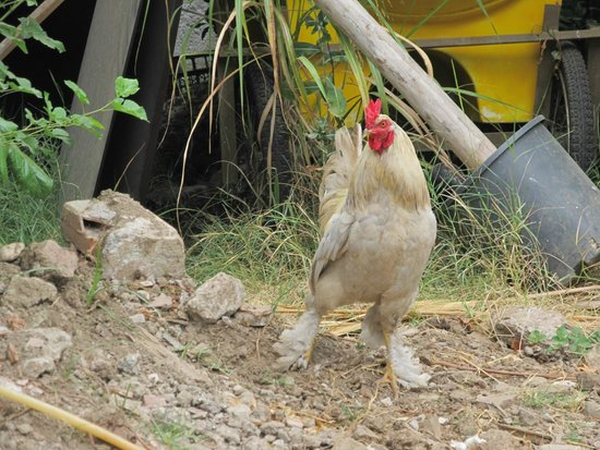 Canada Hotel Cirali Olympos: Proud rooster in the village