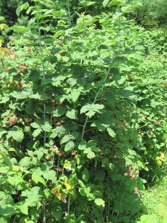 Maple House Bed & Breakfast : Raspberry bushes at Stump Sprouts.  We keep them picked and mold free while they are away.