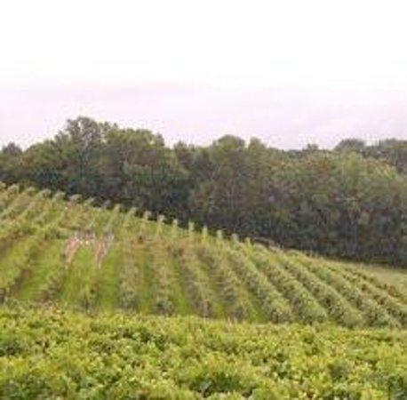 Vineyards in ALMA