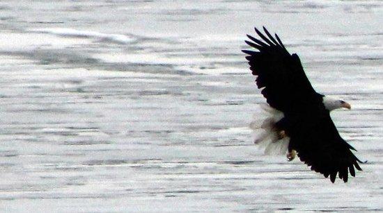 Bald Eagles Winter In ALMA