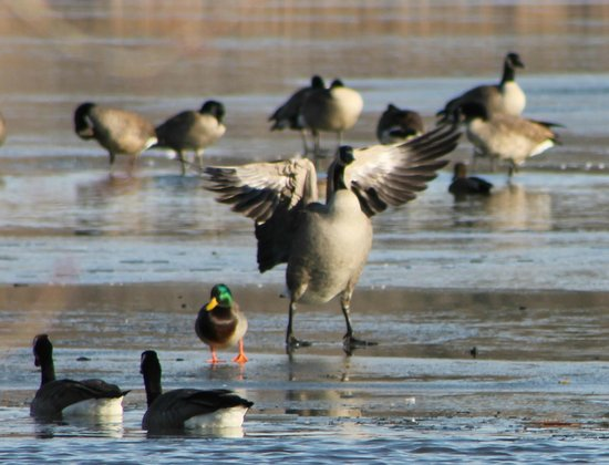 Canada Geese, ALMA Is Part Of The Mississippi Flyway