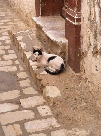 Medina of Sousse : Local cat at the back of the Medina