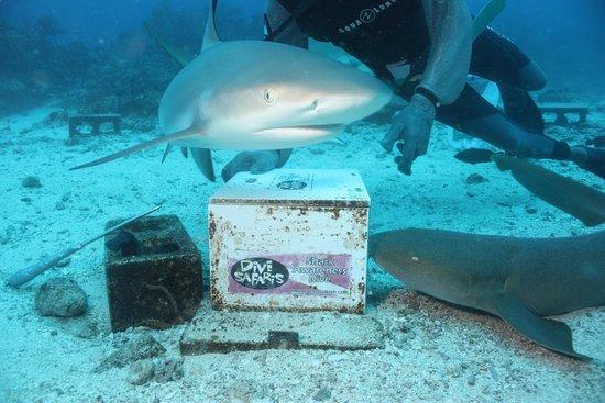 Dive Safaris: shark dive