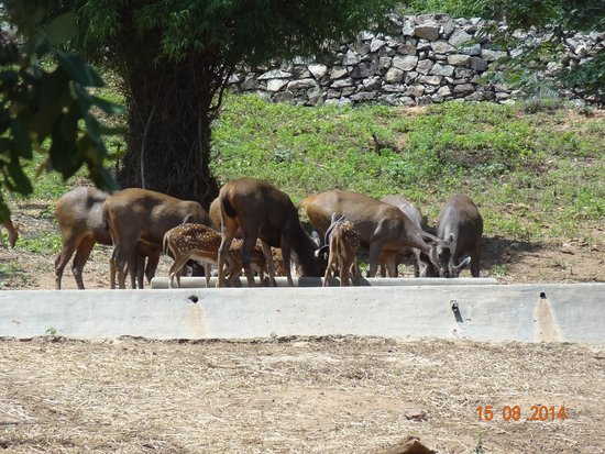 Bannerghatta National Park : Deers near the water pit