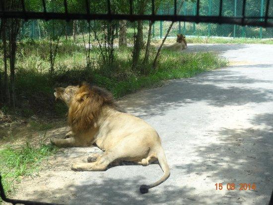 Bannerghatta National Park : A lion blocking our bus