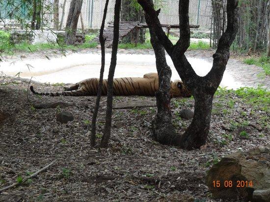 Bannerghatta National Park : Dozzed off tiger